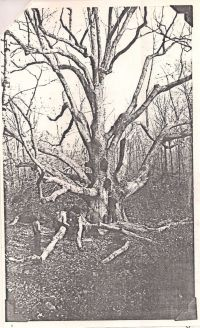 Picture of large oak tree